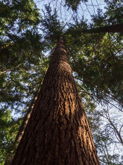 Odkryli najwyższe drzewo w Polsce! U nas!