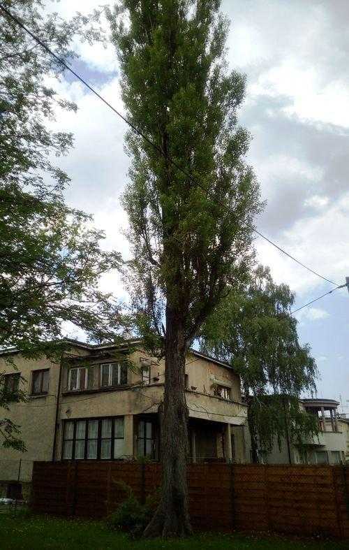 Chcą wyciąć zdrowe drzewo?