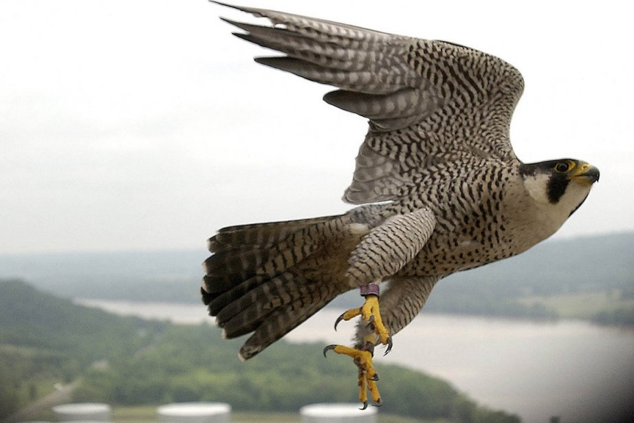 Ptak Drapieżny Uciekł Z Pokazu