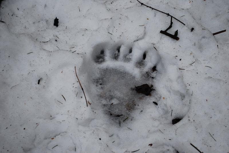 Uwaga Na Niedźwiedzia !