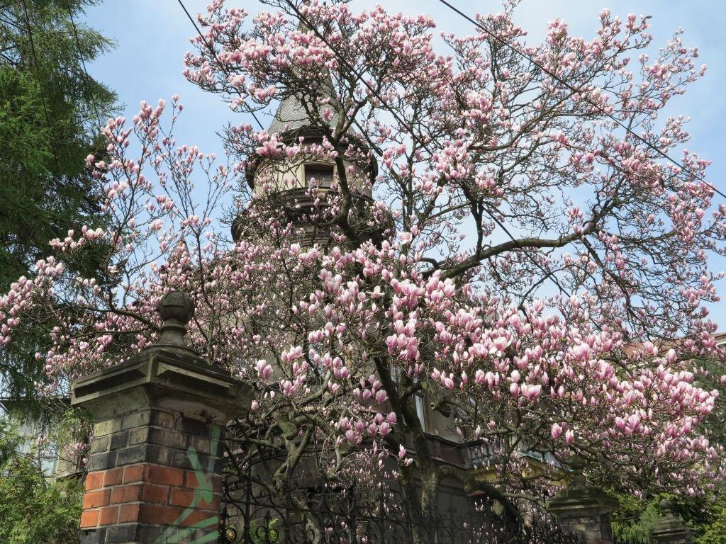 Propozycja na weekend? Spacer szlakiem magnolii!