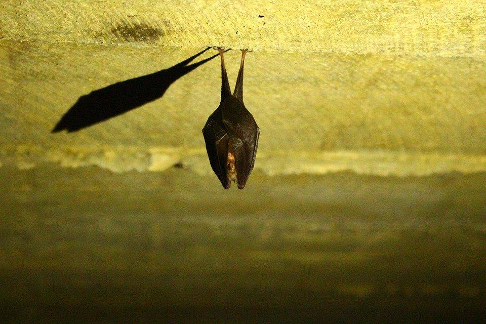 Nietoperze Zlatują Się Do Szkoły. Można Je Podglądać