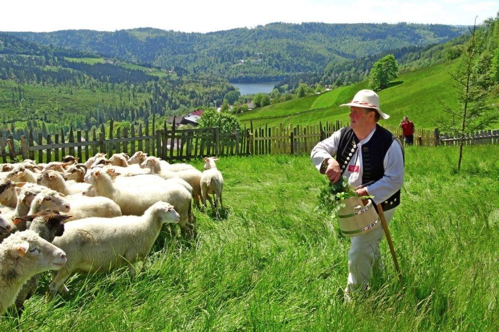 Owce, Koncerty I Swojskie Wyroby