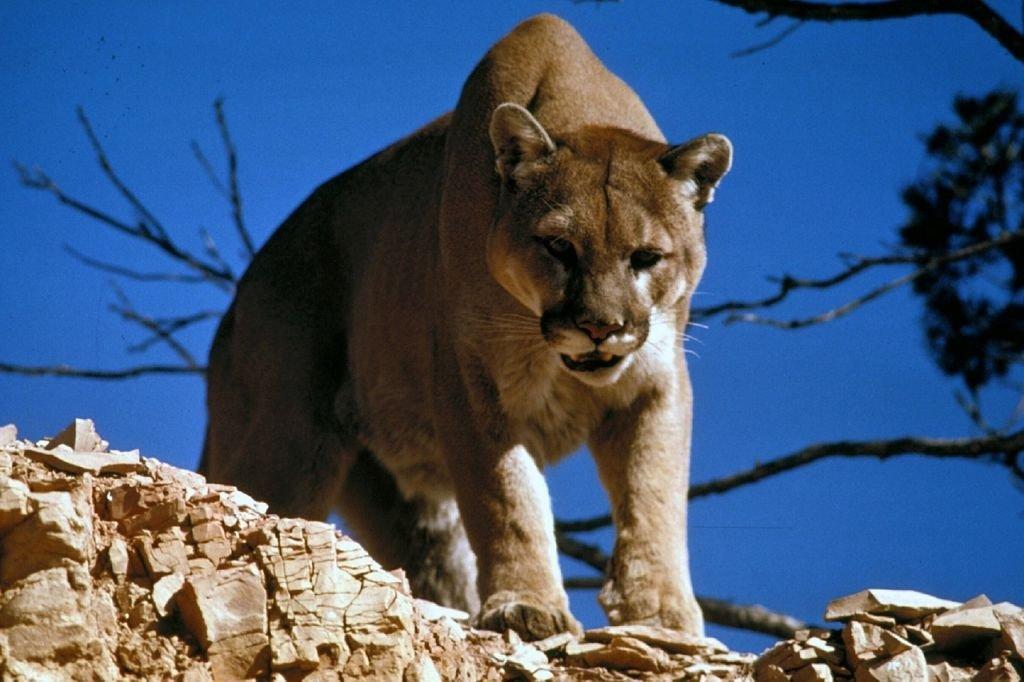 Puma w Beskidach?